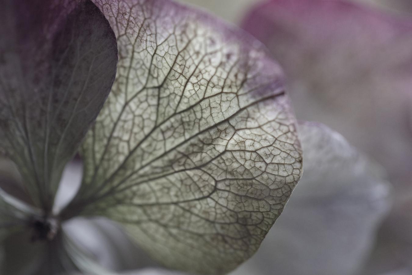 Hydrangea I